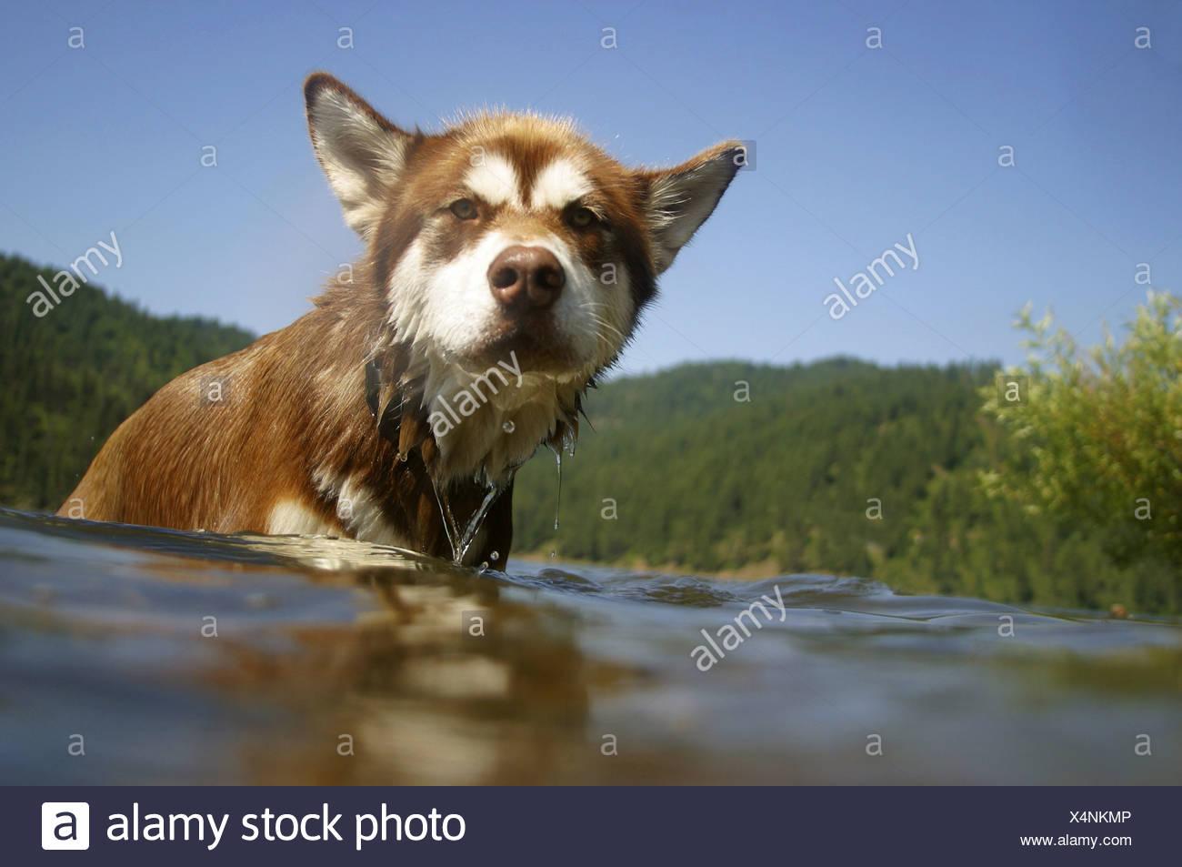 Hund schwimmen im Wasser Stockbild