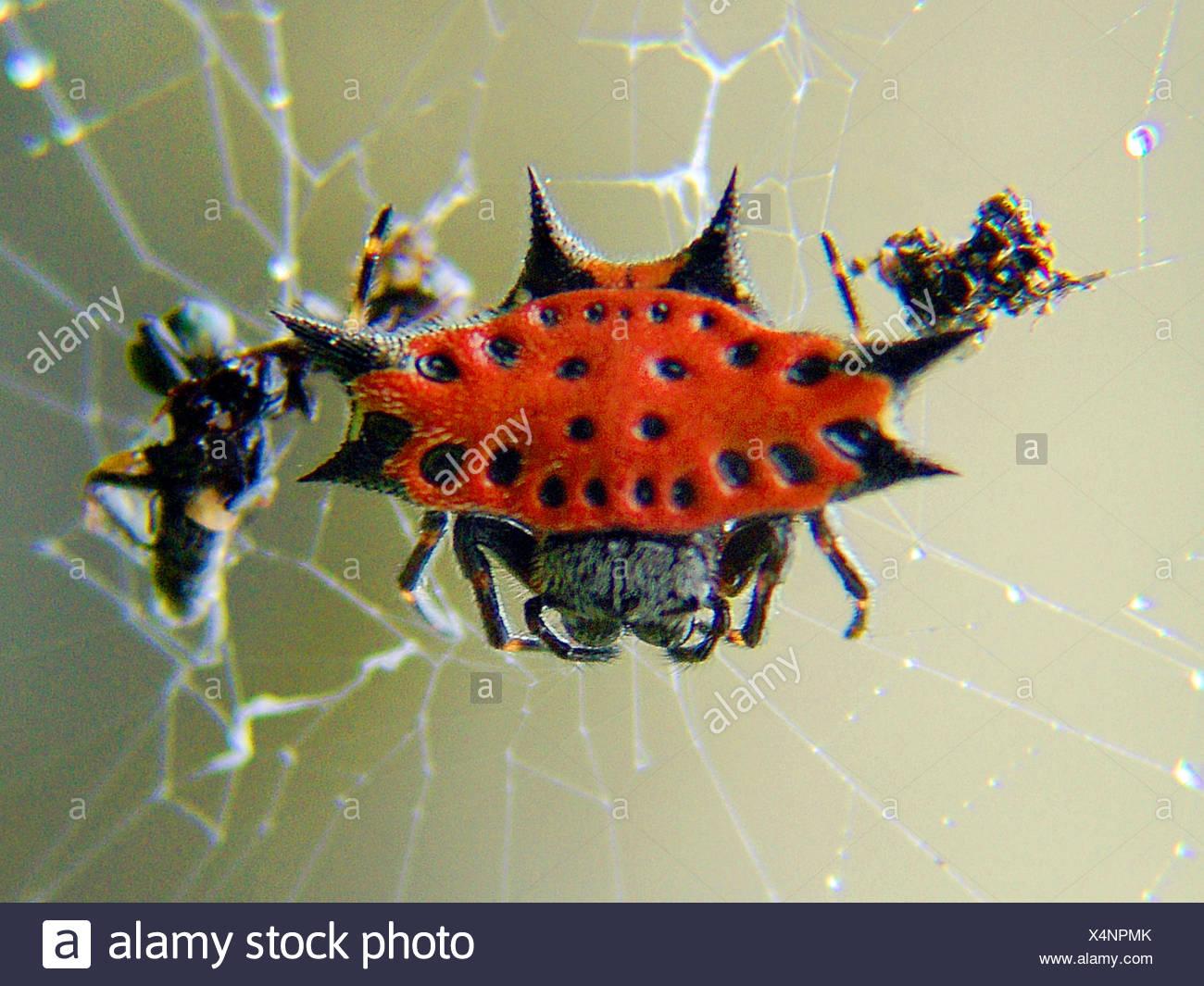 Radnetzspinne, Radnetz-Spinne, Gastercantha Cancriformis (Gastercantha Cancriformis) in Dachmarke Netz, Costa Rica   Orbweb Spinne Stockbild