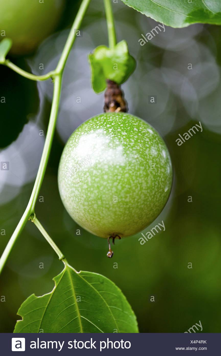 Nahaufnahme von Obstbau auf Baum Stockbild