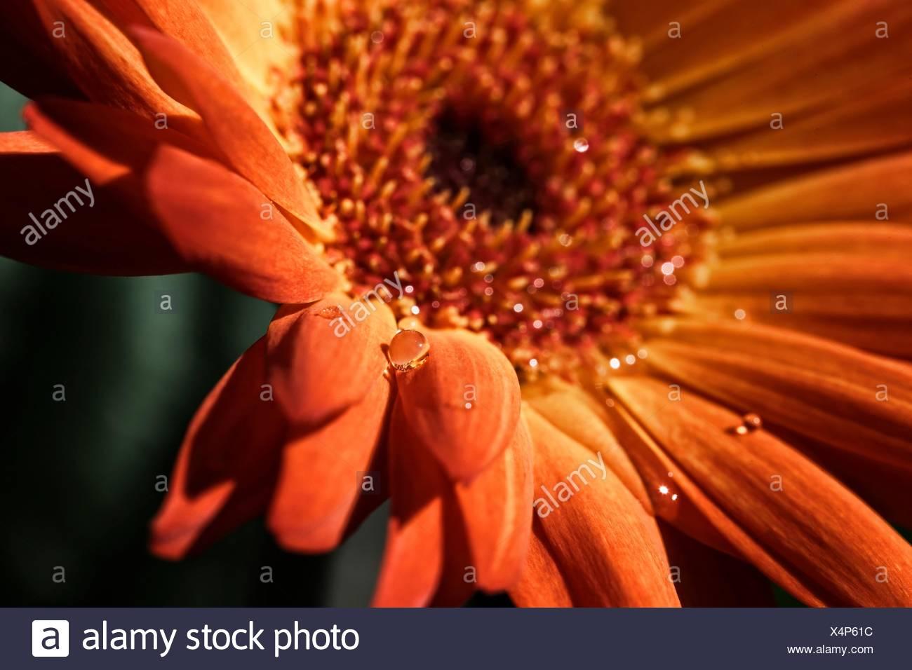 Orange Blüte mit Wassertropfen Stockfoto