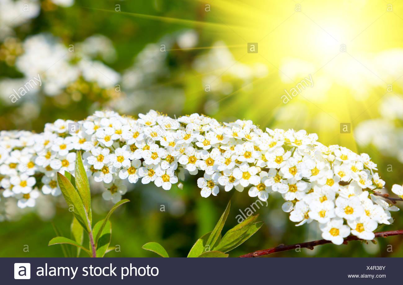 Weisse Spiraea Madesuss Blumen Fruhjahr Strauch In Der Stockfoto