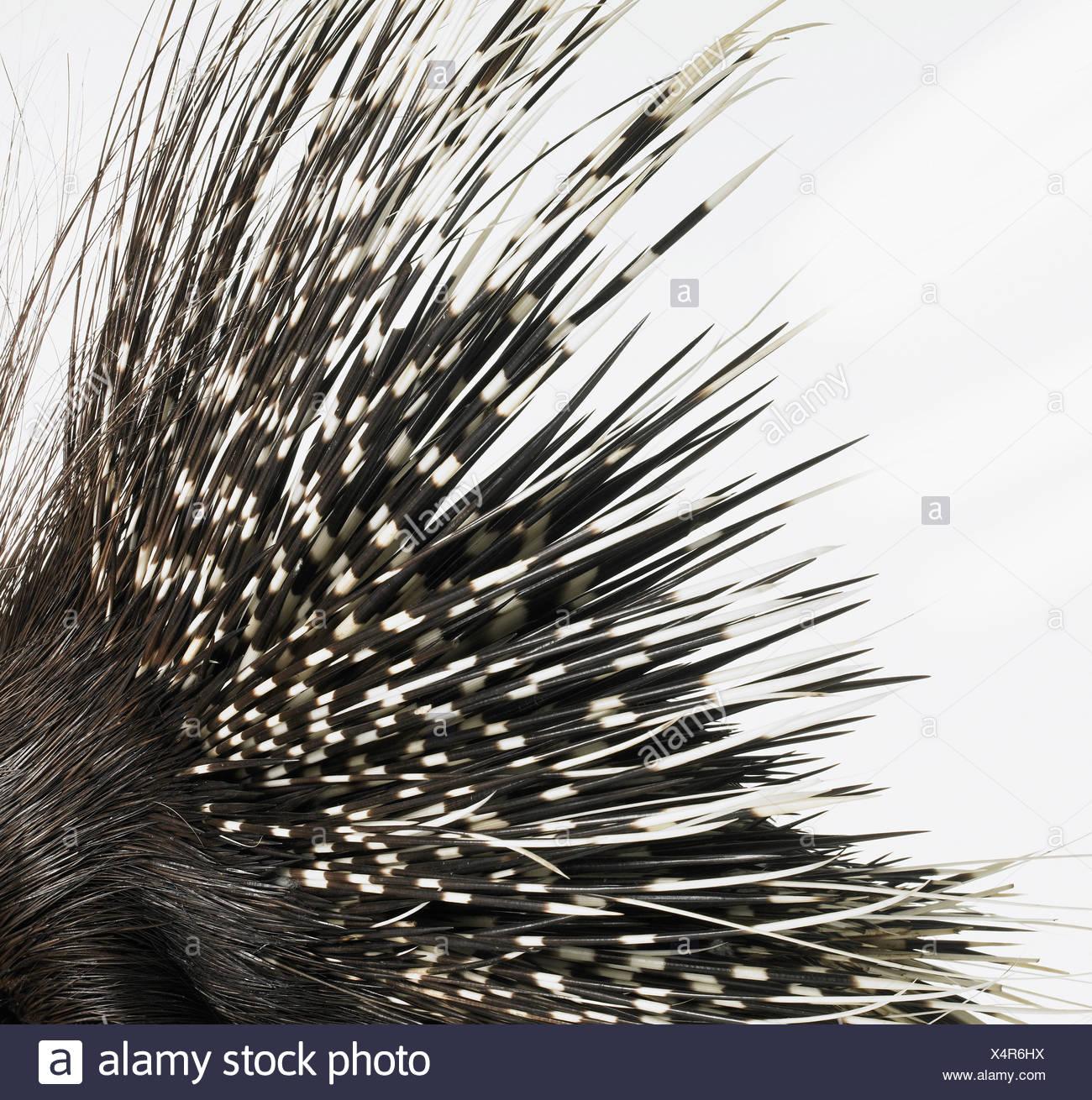 Stachelschweinborsten Stockfoto