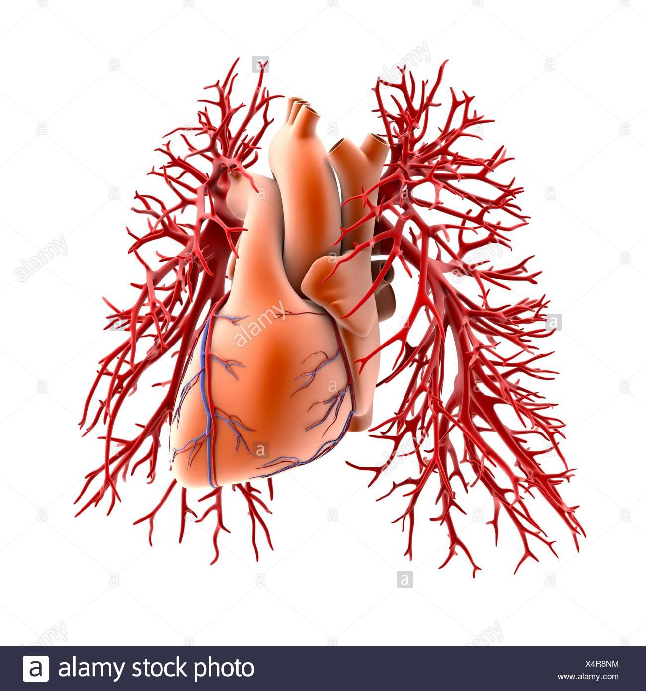 Herz-Kreislauf-System von Herz und Lunge, Computer Artwork. Das Herz ...