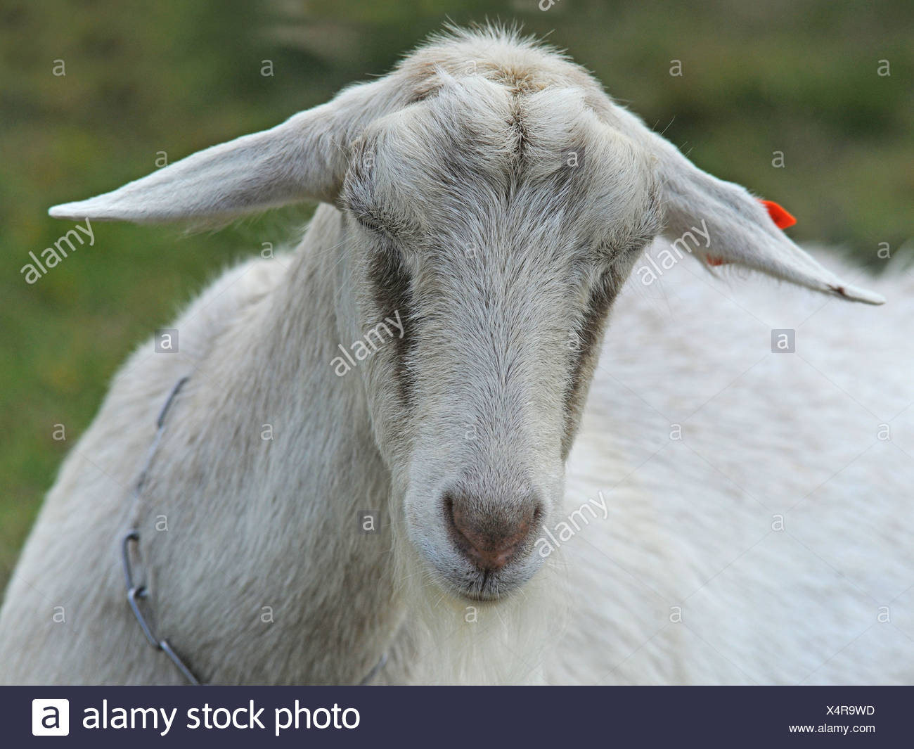 Der Leiter einer britischen Saanen-Ziege Stockbild