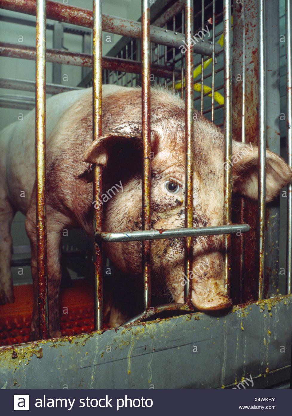 Haltung von Haustieren Viehzucht problematisch Käfig Tier Box verjährt Angst Emotion Erschöpfung Forschung cau Stockbild