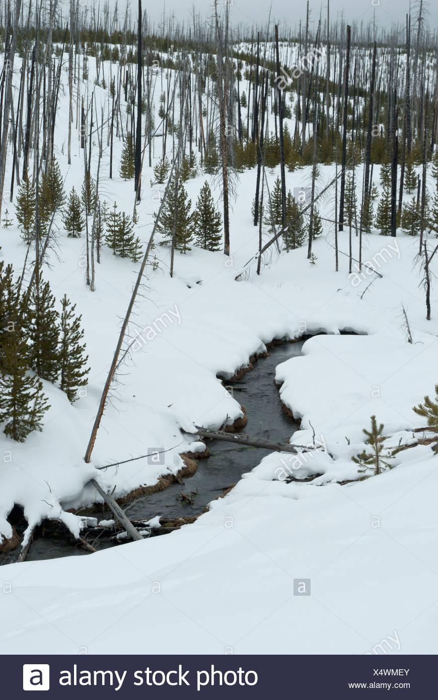 Natürlich neu gesäten Fläche nach 1988 Brand, Farn-Kaskaden-Rundwanderweg, Winter, Yellowstone NP, WY Stockbild
