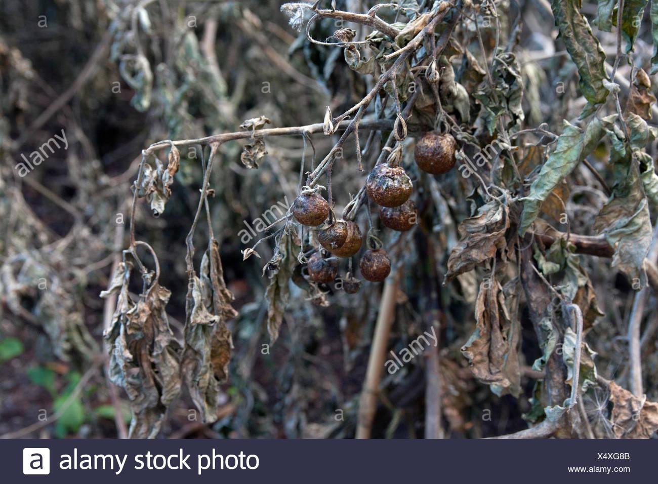 Tomaten von Tomato spotted wilt Virus infiziert (TSWV) verursacht durch Thripse, Warwickshire Stockbild