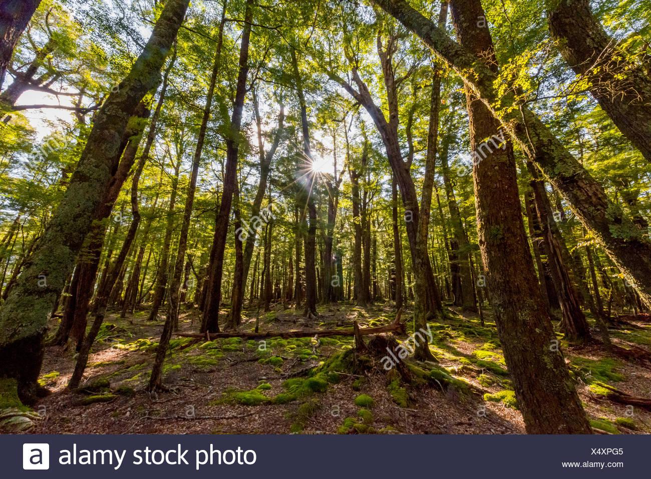 Sonne scheint durch die Bäume, Wald, Mount Aspiring National Park, Otago, Southland, Neuseeland Stockbild