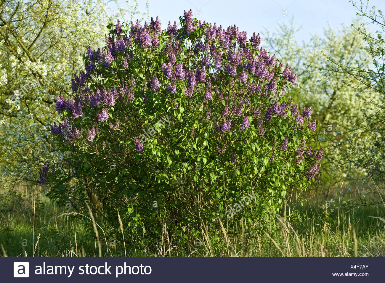 gemeinsamen Flieder (Syringa Vulgaris), blühenden Strauch, Deutschland Stockbild