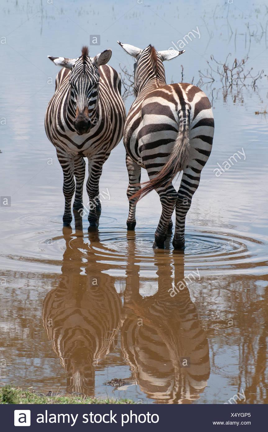 Zwei gemeinsame Zebra stehen nebeneinander in flachen Hochwasser am Seerand in Lake Nakuru National Park Kenia Ostafrika gemeinsame Z Stockbild