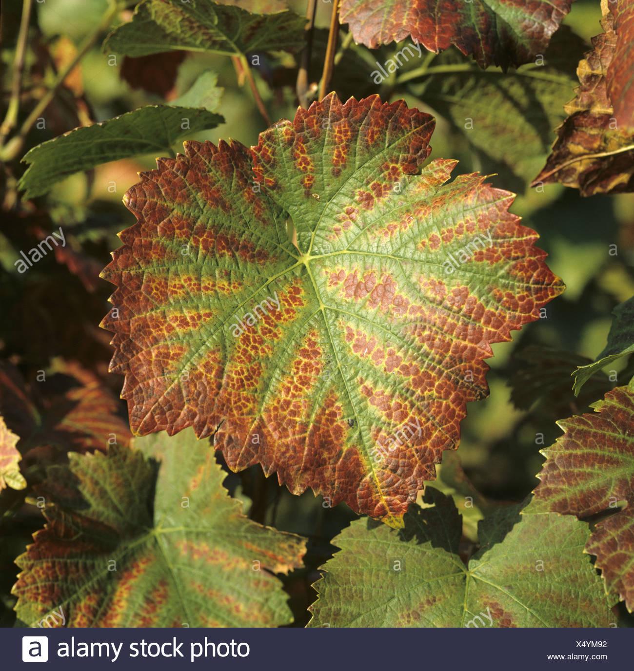 grapevine leaf stockfotos grapevine leaf bilder alamy. Black Bedroom Furniture Sets. Home Design Ideas