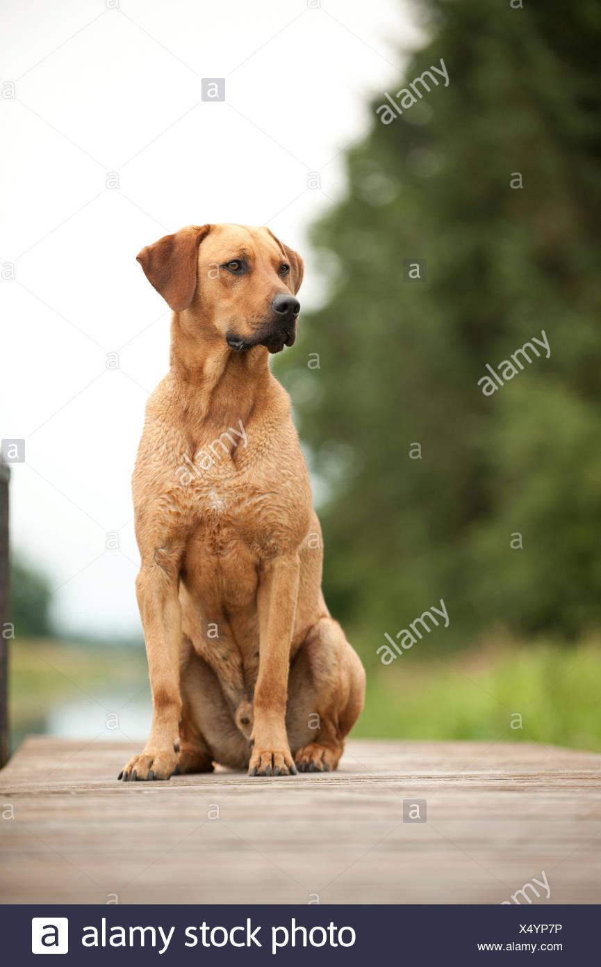 Rhodesian Ridgeback Mischling Hund Sitzt Auf Einem Dock Stockfoto