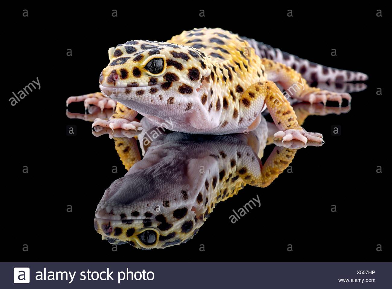 Leopardgecko, Eublepharis Macularius, mit Reflexion auf schwarzem Hintergrund Stockbild