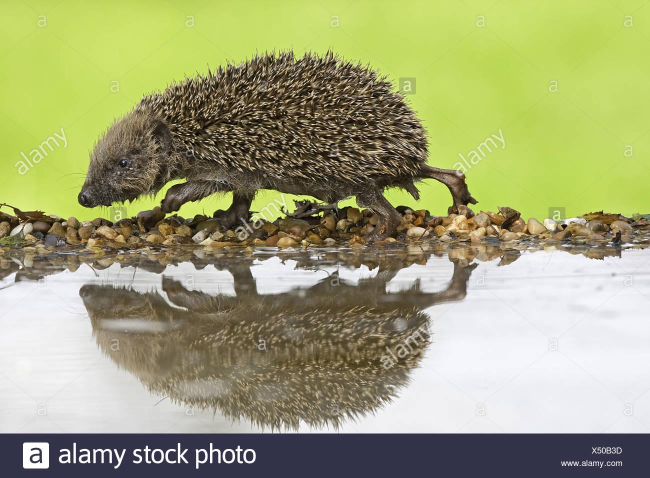 Erinaceus Europaeus Warwickshire Tiere Verhalten Nahaufnahme Ohren