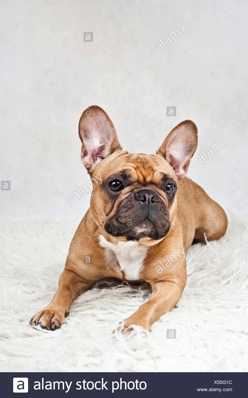 Französische Bulldogge Liegend Auf Einer Weißen Plüsch Decke