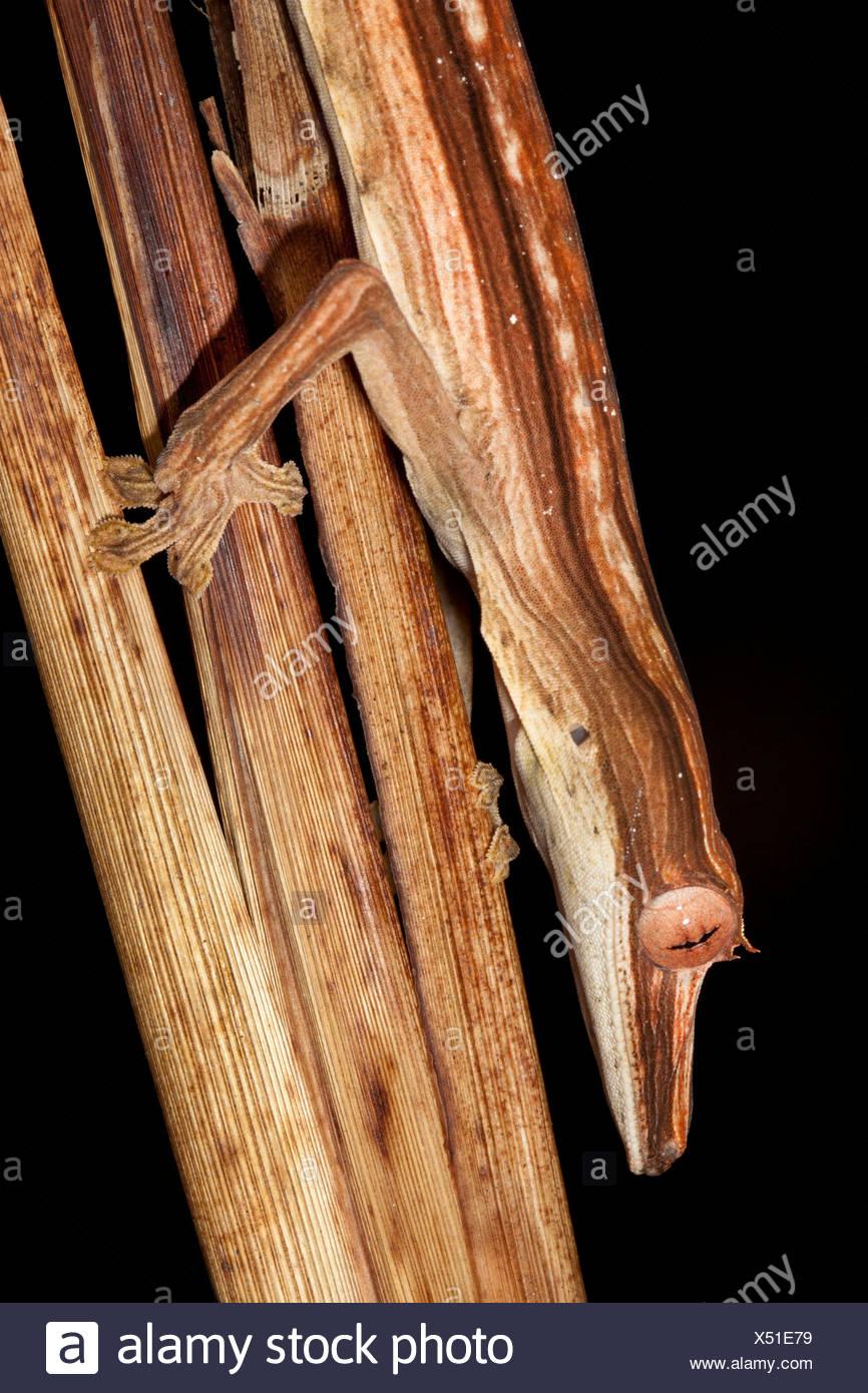 Blatt-tailed Gecko getarnt unter Toten ausgekleidet Palme Wedel, Wirbellosen Beute in der Nacht jagen. Masoala-Halbinsel, Madagaskar Stockbild