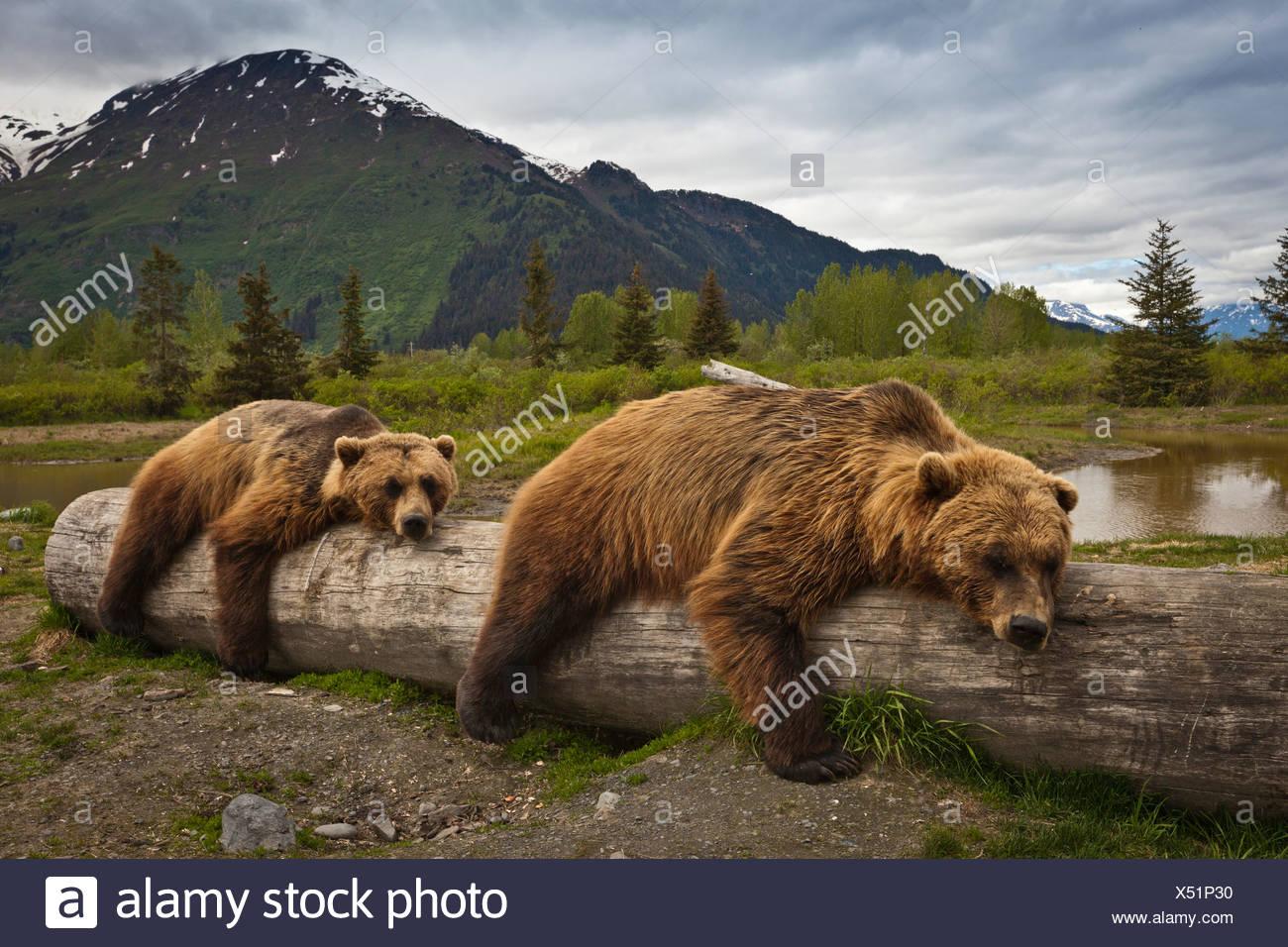 CAPTIVE: Zwei ältere Braunbären lag ausgestreckt auf einem Baumstamm im Alaska Wildlife Conservation Center, Yunan Alaska, Sommer Stockbild