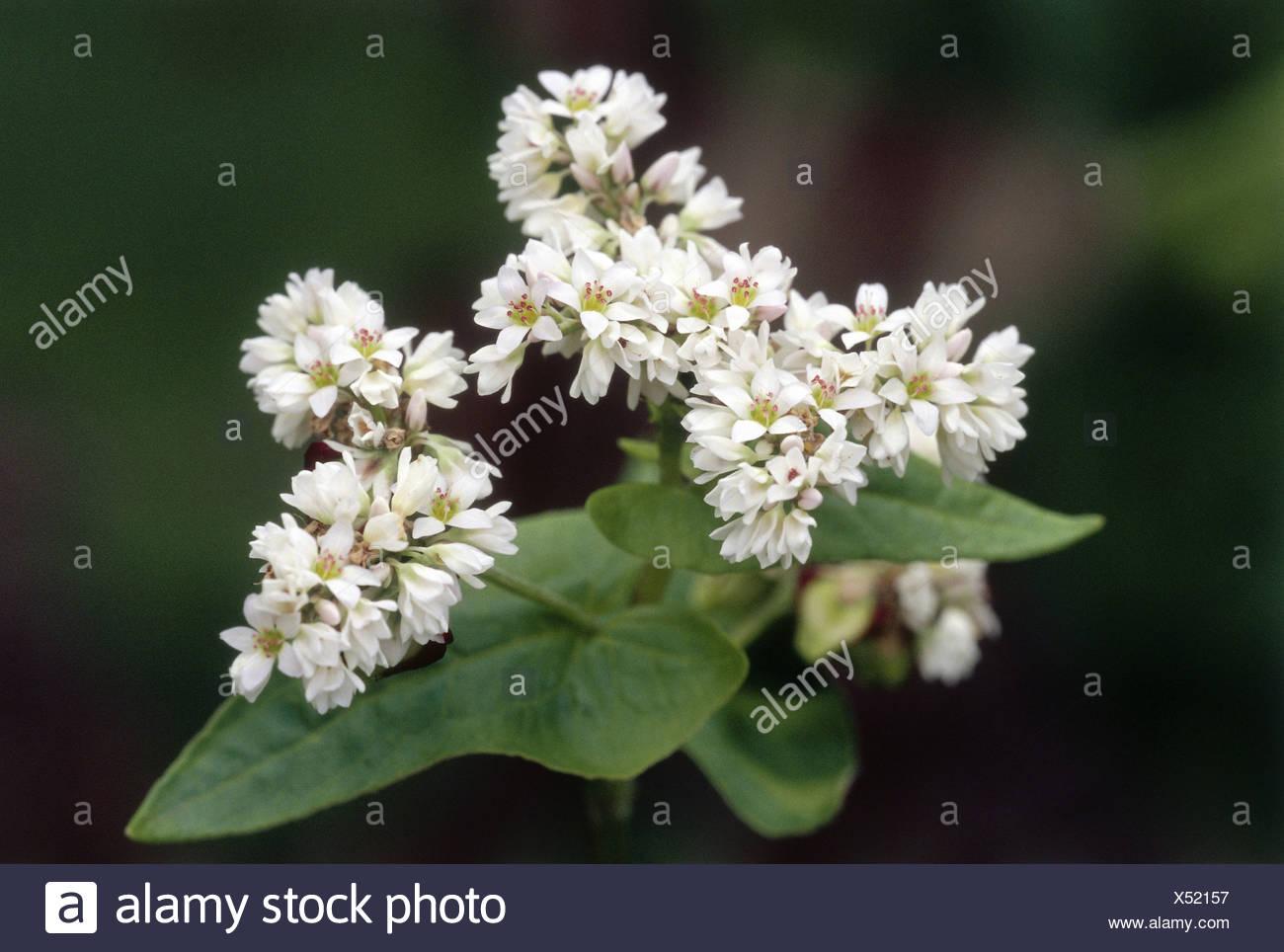 Botanik, Buchweizen (Fagopyrum esculentum), Blüten, Additional-Rights - Clearance-Info - Not-Available Stockbild