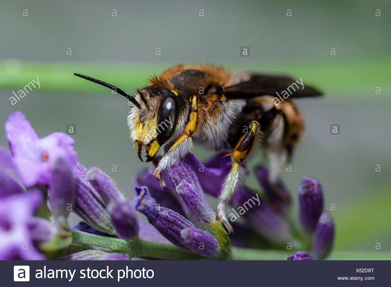 Europäische wolle carder Biene, anthidium manicatum, München, Bayern, Deutschland Stockbild