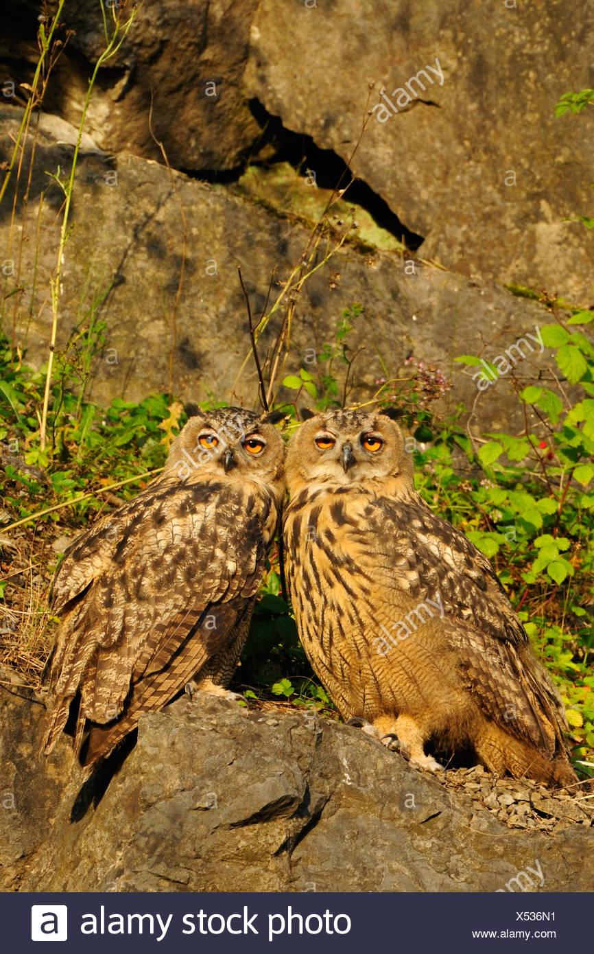 nördlichen Uhu (Bubo Bubo), Sporn zwei Jungvögel sitzen eng zusammen auf einem Felsen in der Abendsonne, Deutschland, Nordrhein-Westfalen, Sauerland Stockbild