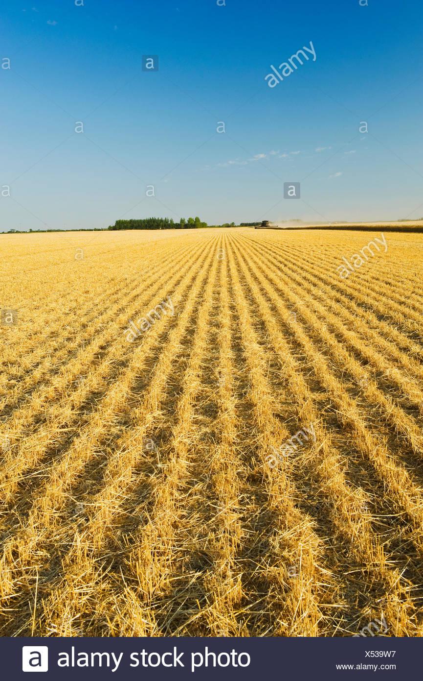 Weizen Stoppel in kürzlich geernteten Feld in der Nähe von Lorette, Manitoba, Kanada Stockbild