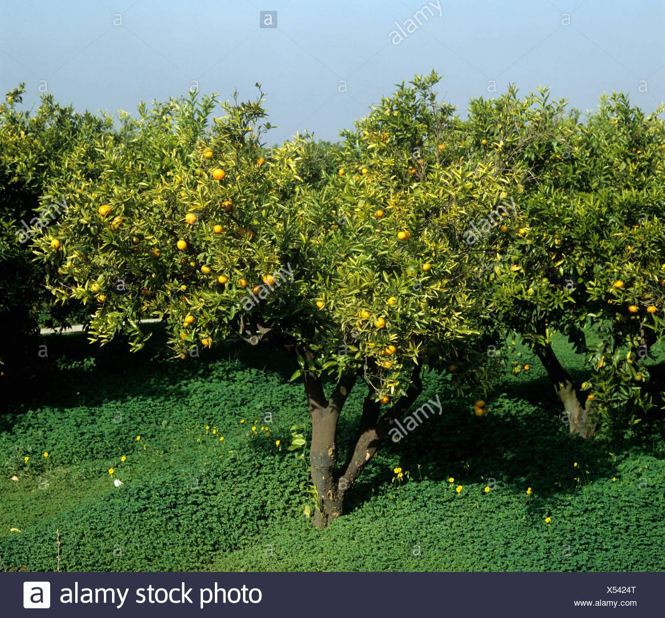 Schuppige Rinde Citrus Psorosis-Virus-Infektion von einer Clementine verursacht Abnahme und Tod Spanien Stockbild