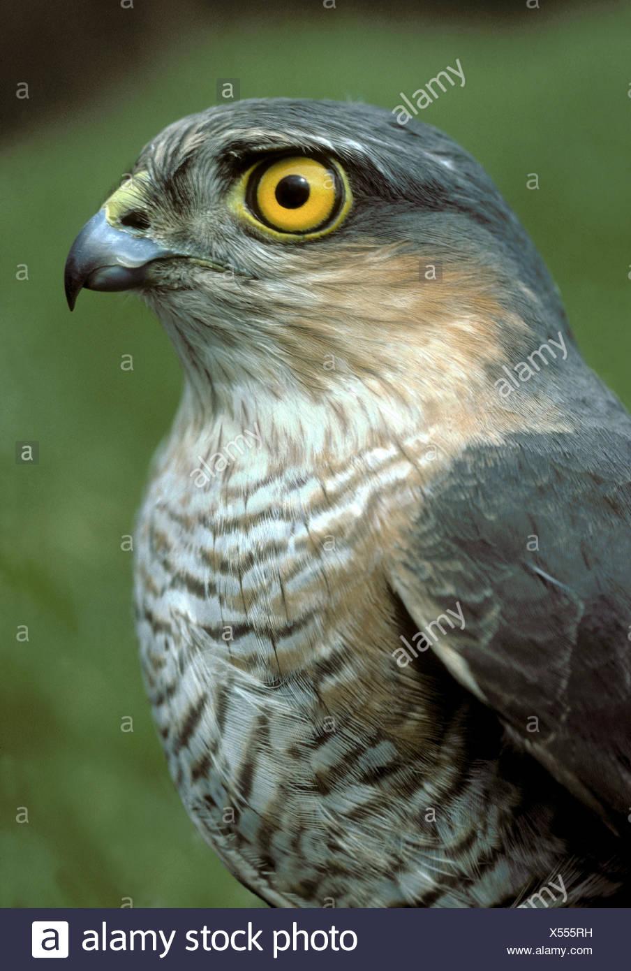 Sparrowhawk Accipiter nisus Stockbild