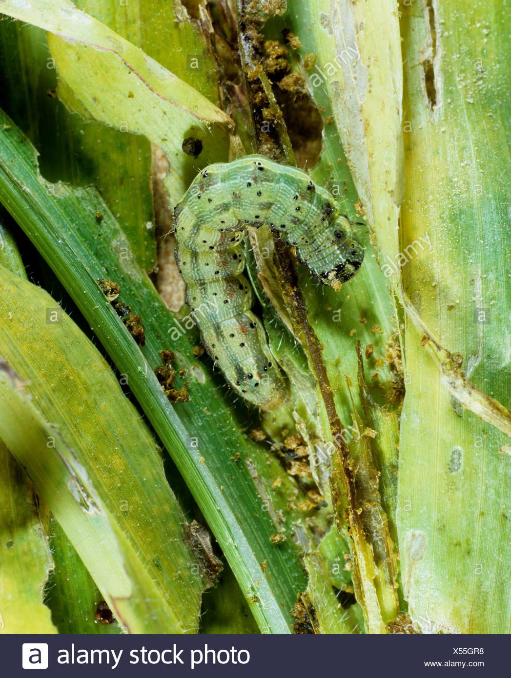 Baumwolle Bollworm oder Tomate Fruitworm Helicoverpa Zea Raupe auf jungen Mais Laub Stockbild