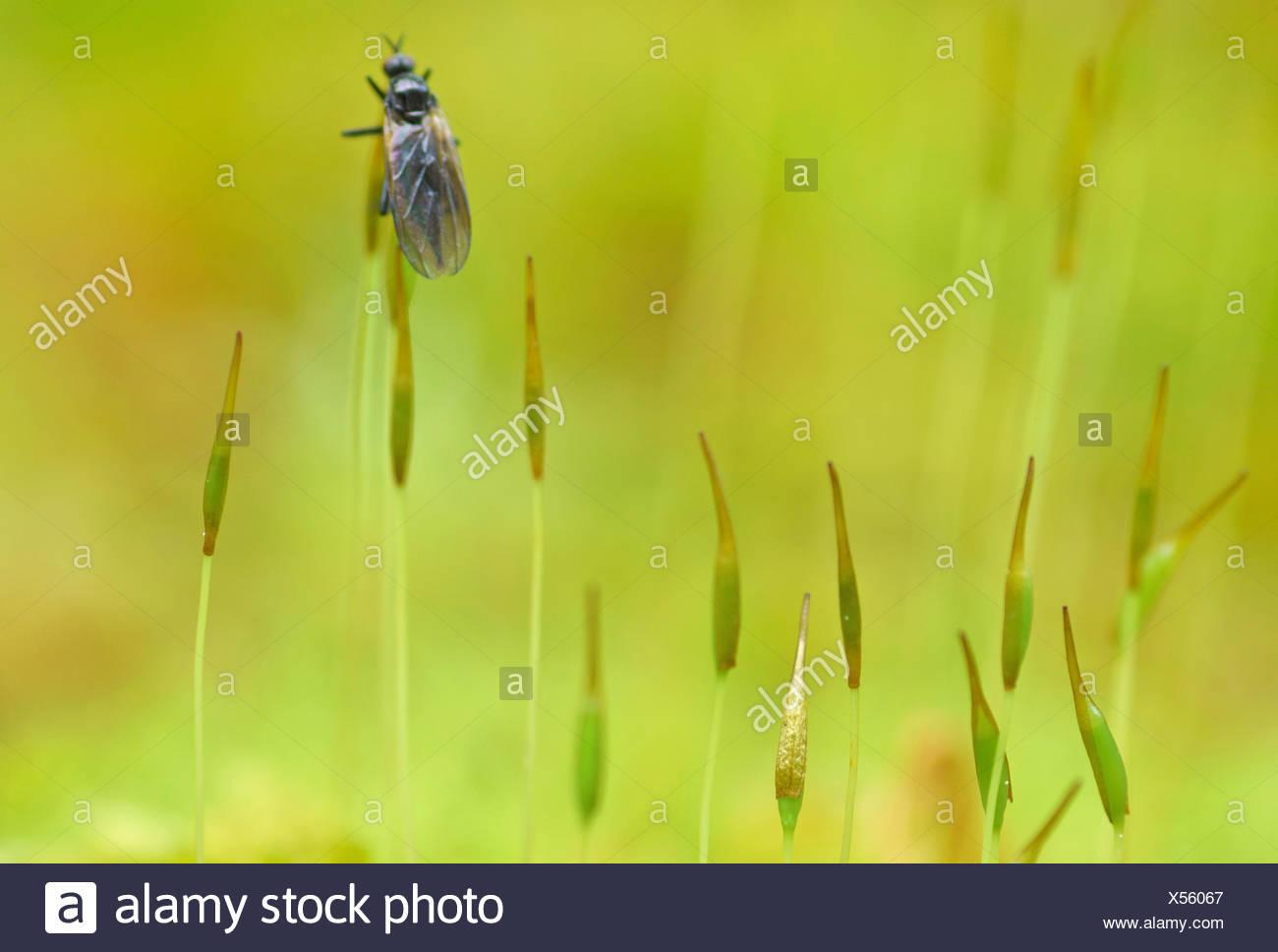 Besen (Dicranium Scoparium) Moos, Moos Kapseln mit Fliege, Oberbayern, Oberbayern, Bayern, Deutschland Stockbild