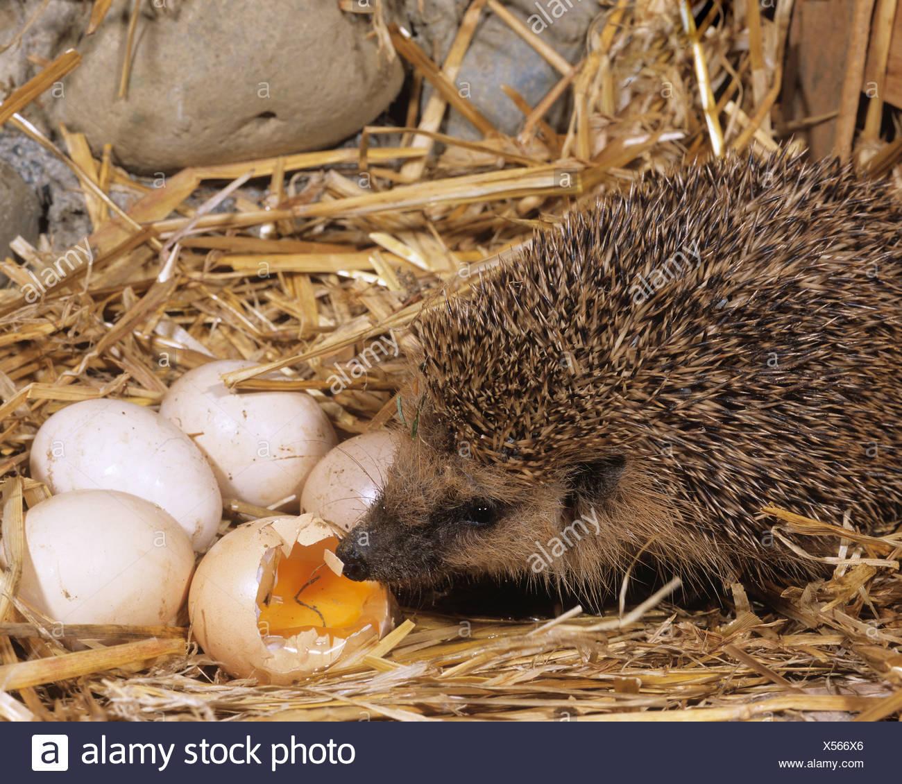 Hühner Fressen Ei