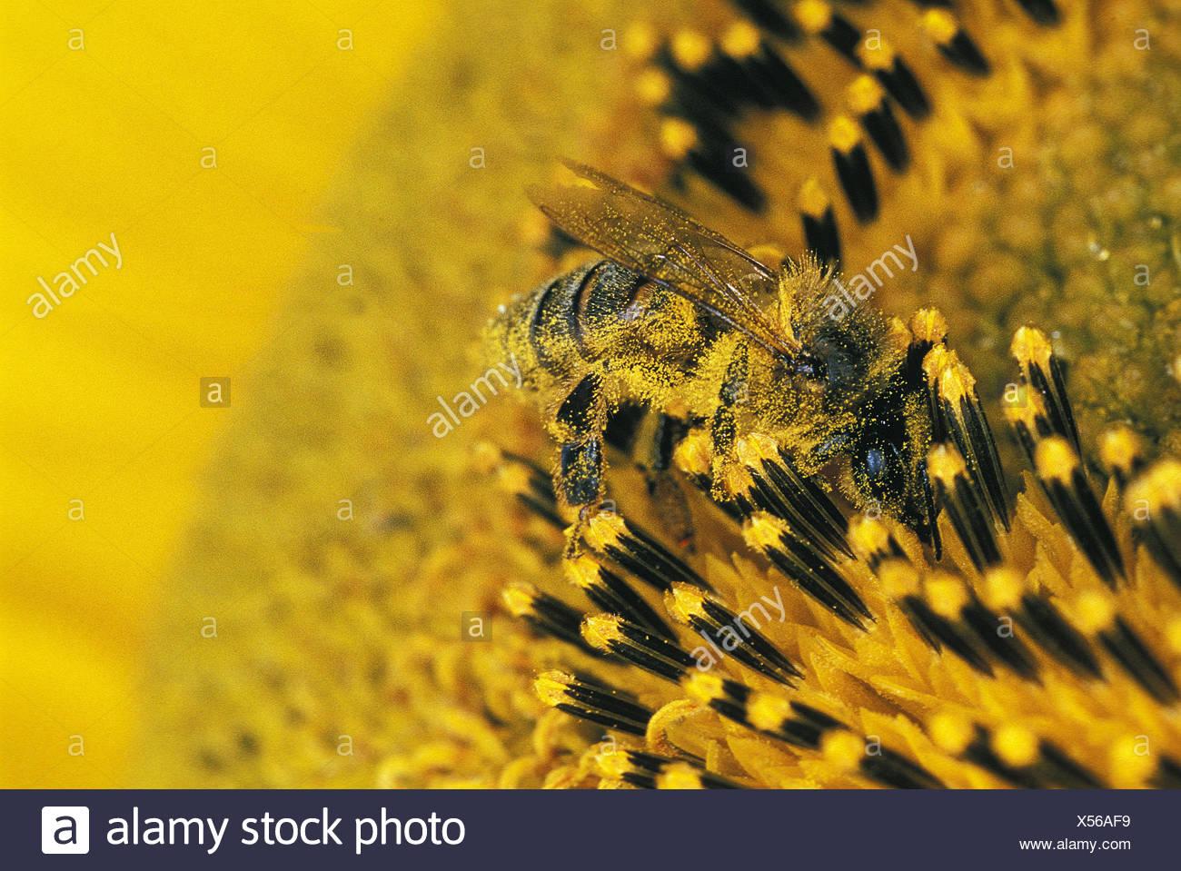 Honigbiene, Apis mellifera, Erwachsene auf die Sonnenblume, Pollen auf seinen Körper, close-up Stockbild
