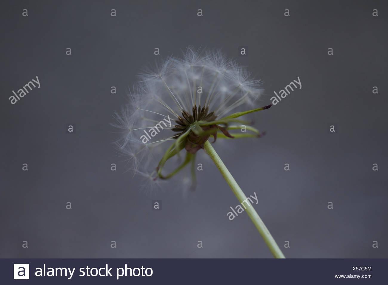 Stiel der Blume Löwenzahn. Muster, Wachstum, zerbrechliche, Samen. Stockbild
