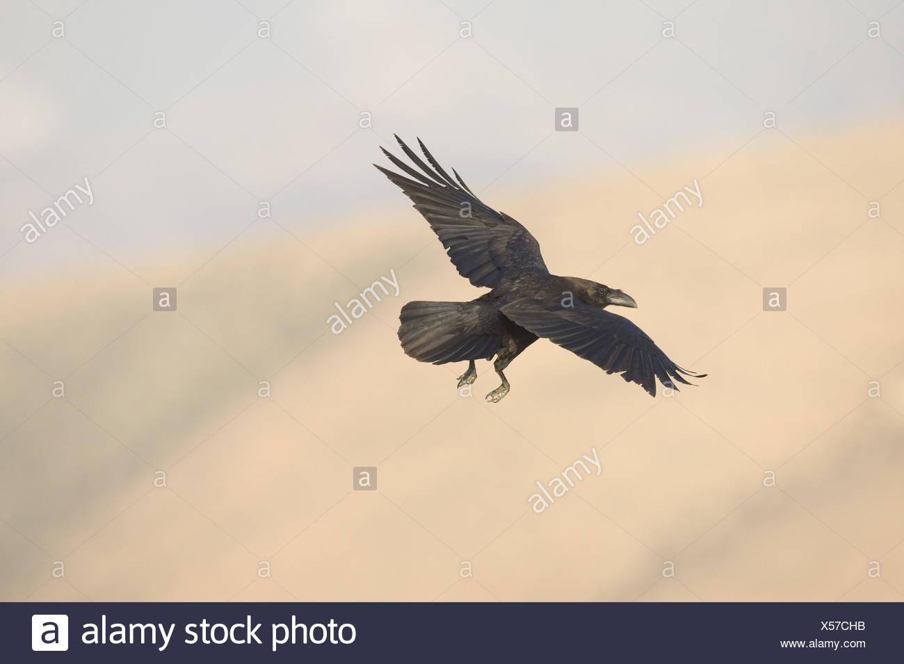 Kanarischen Inseln Raven (Corvus Corax Tingitanus) c Stockfoto