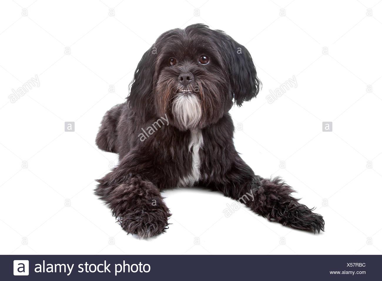 Tibet Terrier Shih Tzu Mix Stockfoto Bild 278611184 Alamy