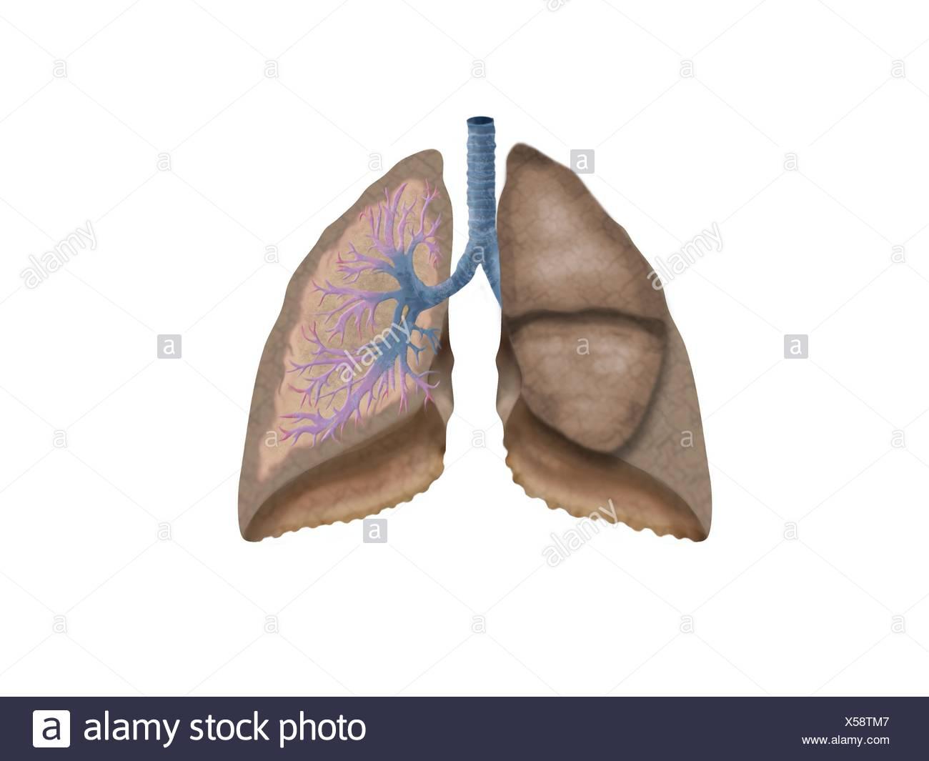 Arterie Stockfotos & Arterie Bilder - Alamy