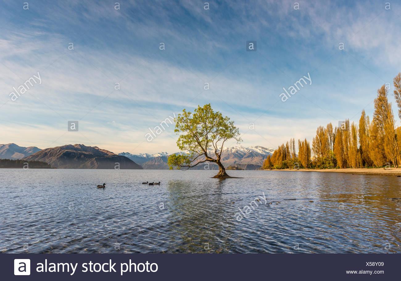 Einzigen Baum im Wasser, The Tree in Wanaka, Lake Wanaka, Roys Bay, Otago Southland, Neuseeland Stockbild