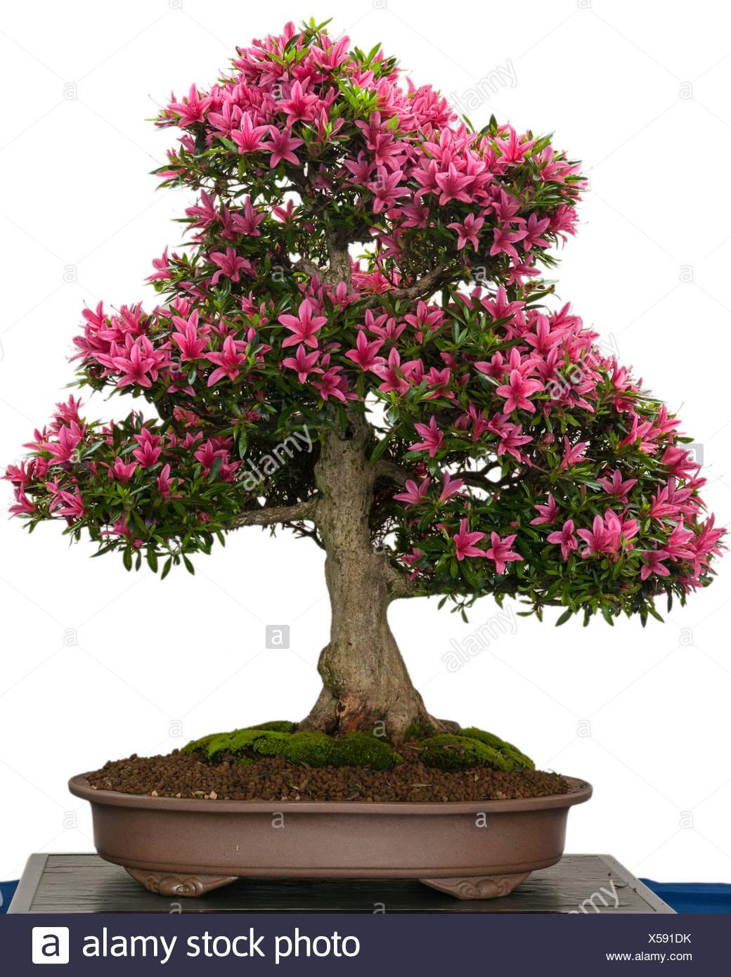 bl hende azaleen bonsai baum mit rosa bl ten stockfoto. Black Bedroom Furniture Sets. Home Design Ideas