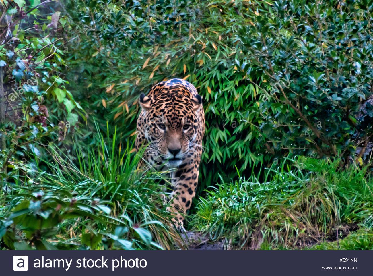 Jaguar, Panthera Onca, Tier, USA, USA, Amerika, Wald Stockbild