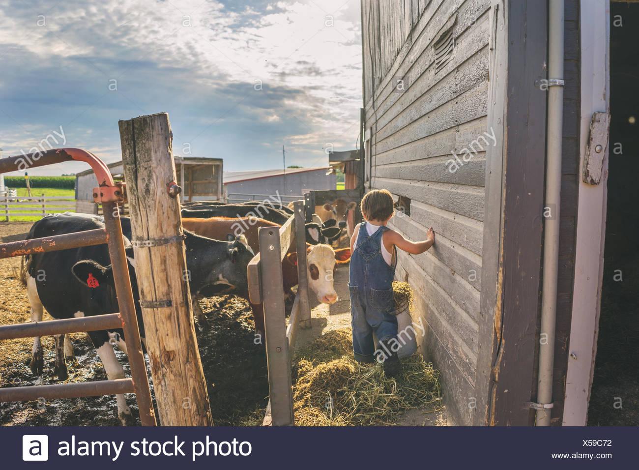 Junge, die Fütterung von Rindern auf einem Bauernhof Stockbild