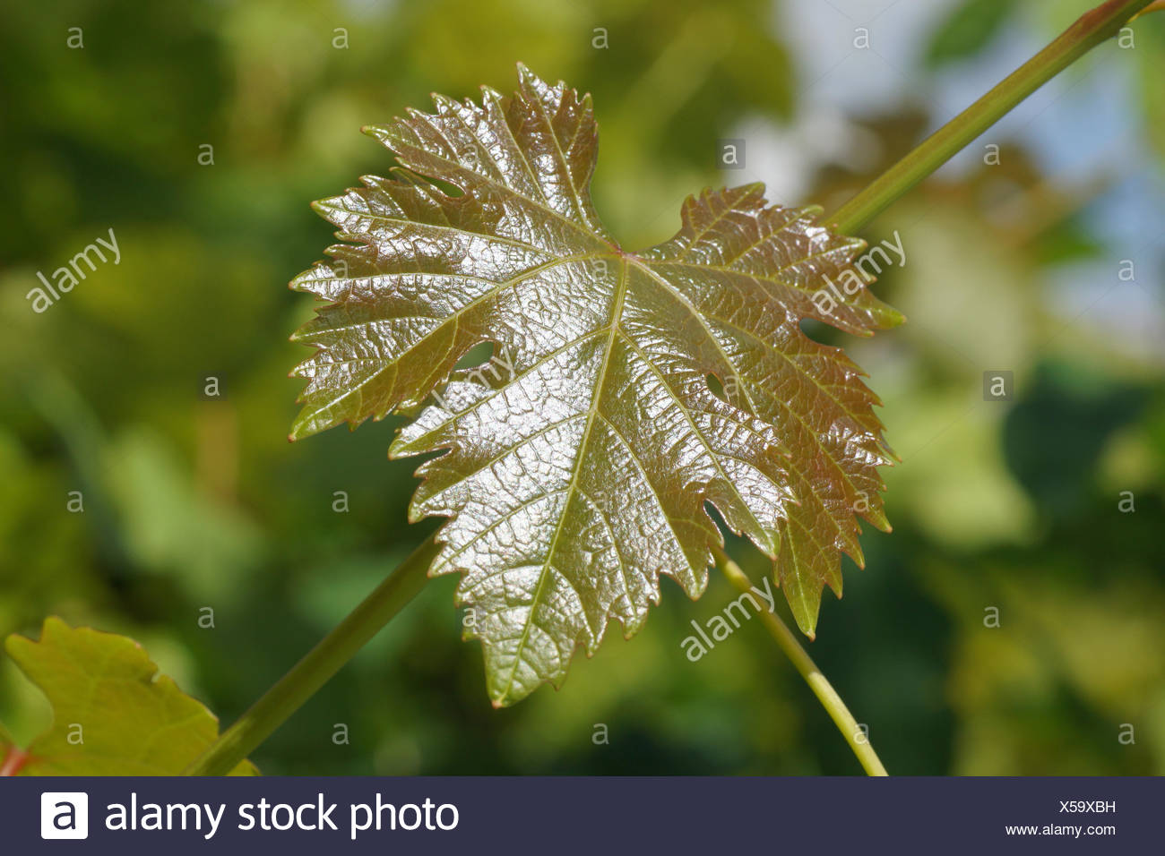 Weinrebe, frische Blätter Stockbild