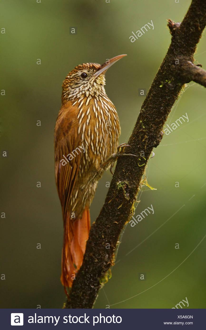 Montane Baumsteiger (Lepidocolaptes Lacrymiger) thront auf einem Ast in Tandayapa Tal von Ecuador. Stockbild