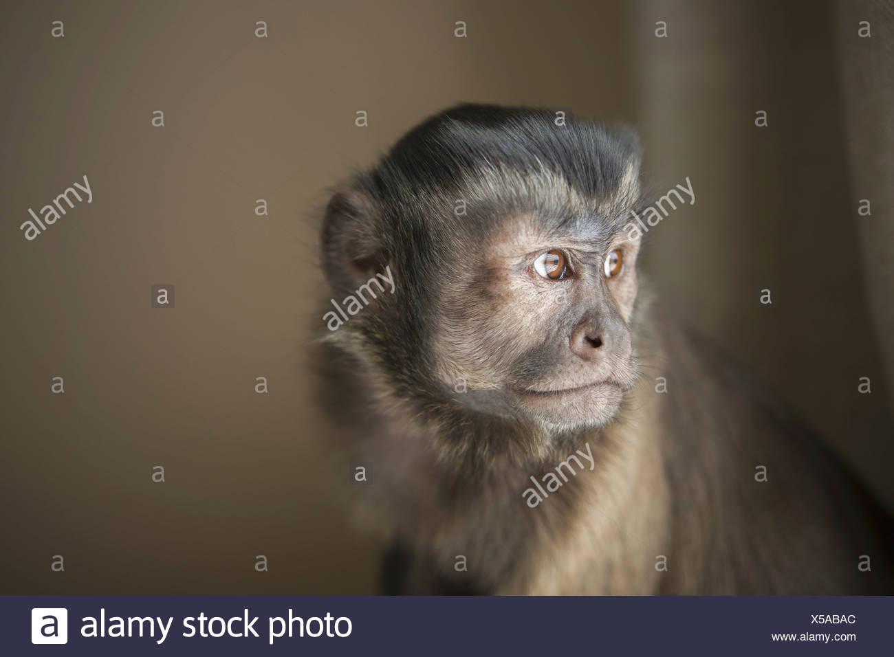 Eine Kapuziner Affe sitzend, Kopf und Schultern. Stockbild