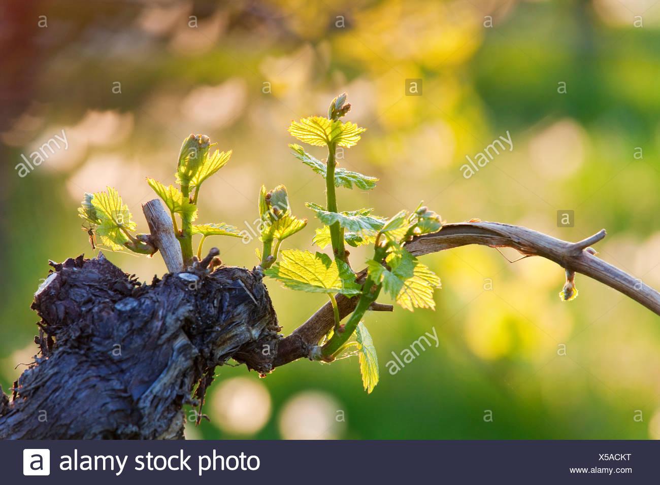 Junge Triebe auf eine Rebe Branch, Straden, Österreich, Nahaufnahme Stockbild