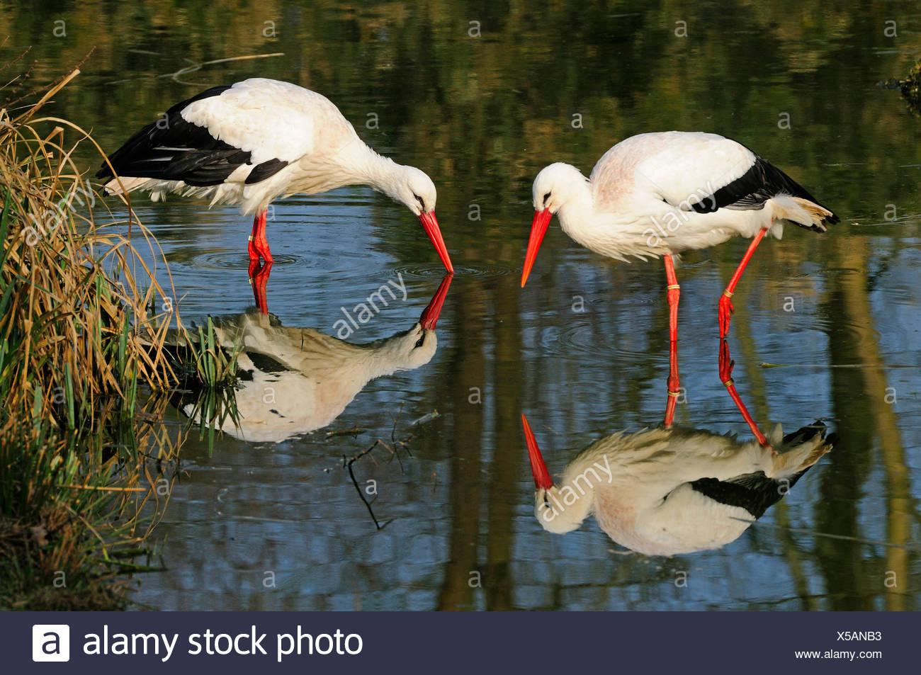 Weißstorch (Ciconia Ciconia), zwei Vögel auf der Suche nach Nahrung im flachen Wasser, Deutschland Stockbild