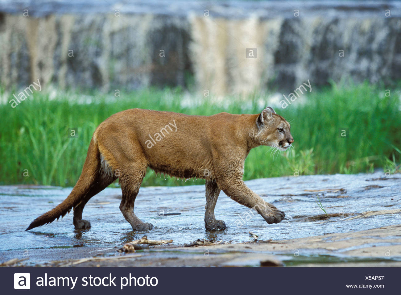Puma, Puma (Puma Concolor) am Wasserfall, Rocky Mountains, Colorado, Nordamerika Stockbild