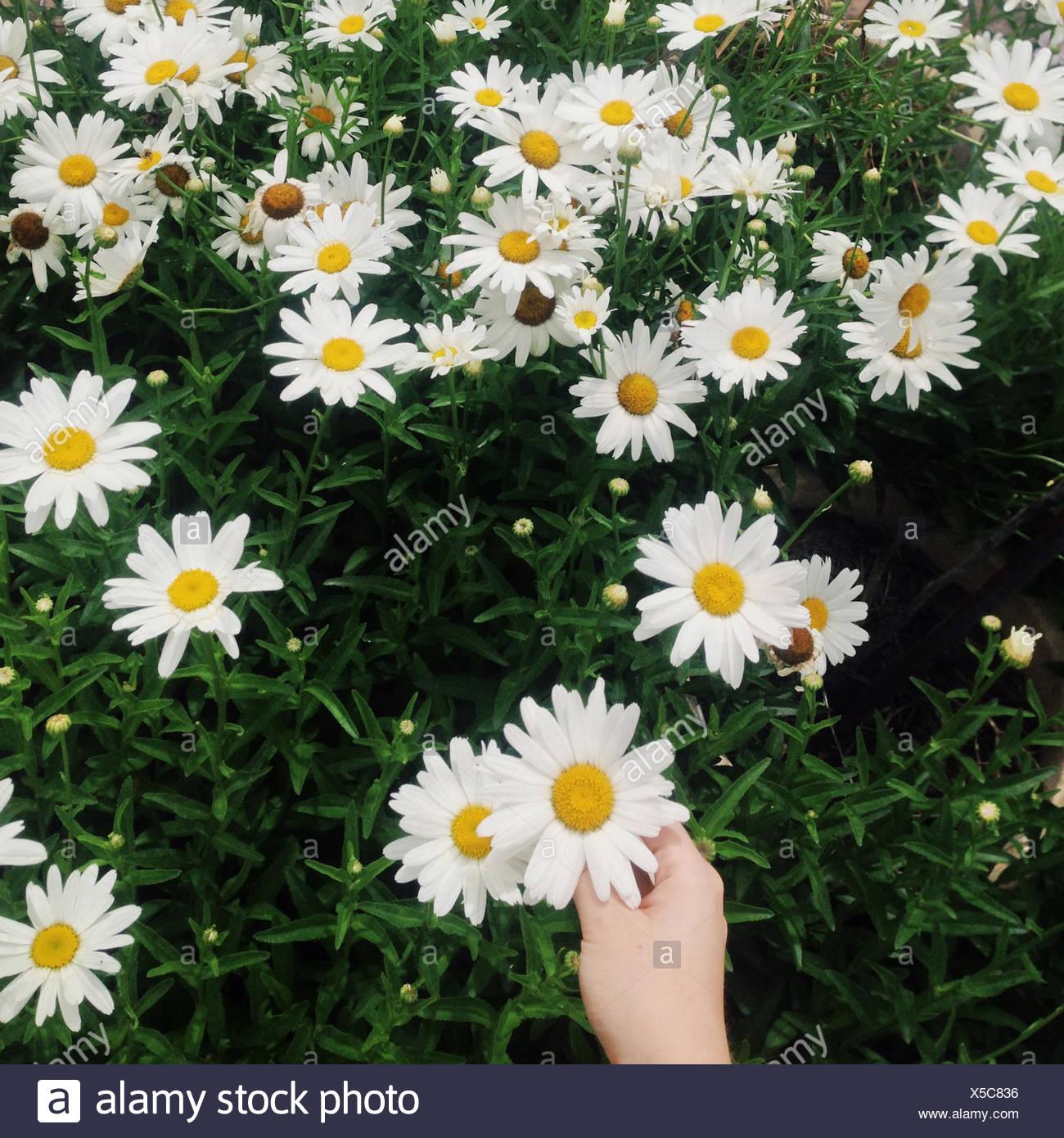 Reihe von Gänseblümchen mit menschlichen hand Stockbild