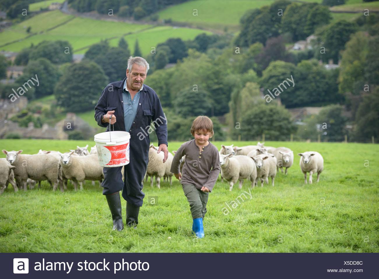 Reifen Bauer und Enkel Fütterung Schafe im Feld Stockbild
