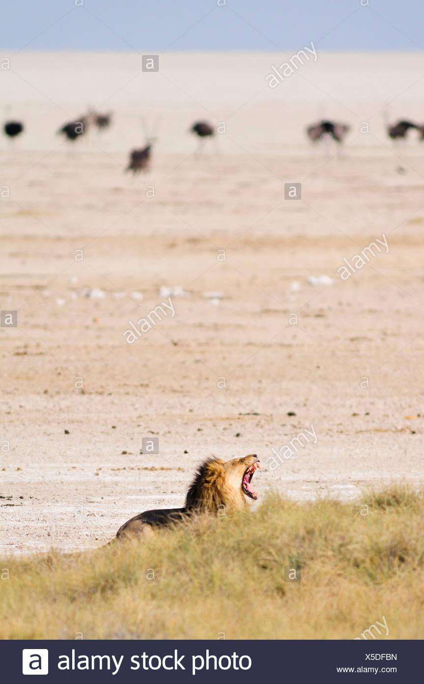 Afrika, Etosha Nationalpark, Namibia, Afrika, Tier, Jagd, Strauß, Vogel, Ebenen, brüllen, Gebrüll, Safari, Savanne, Löwe, Stockfoto