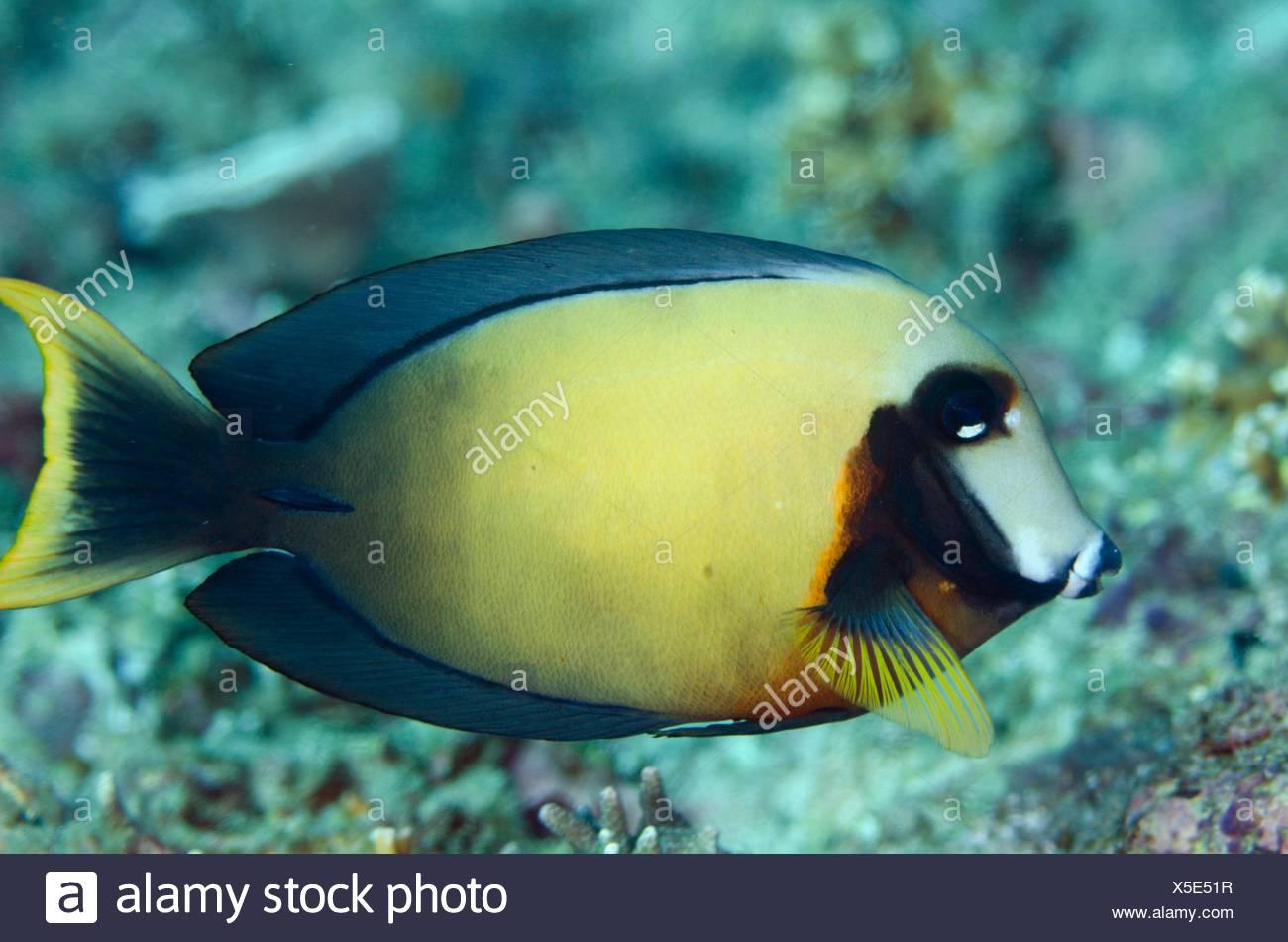 Imitieren Doktorfisch (Acanthurus Pyroferus), Crystal Lagoon Tauchen Ort Candidasa, Bali, Indonesien. Stockbild