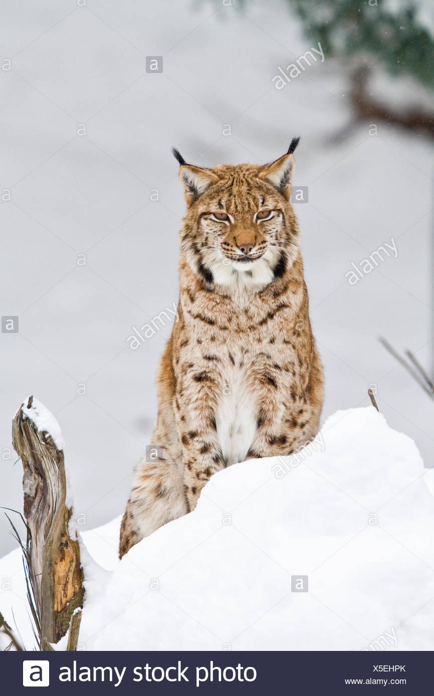 Luchs im Schnee Stockbild
